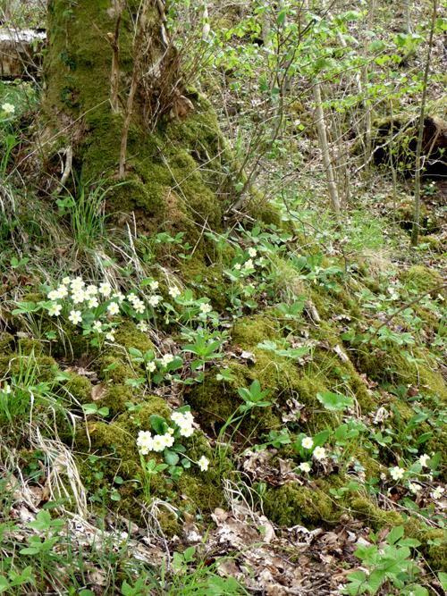 More primroses